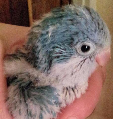 Baby Blue Quaker