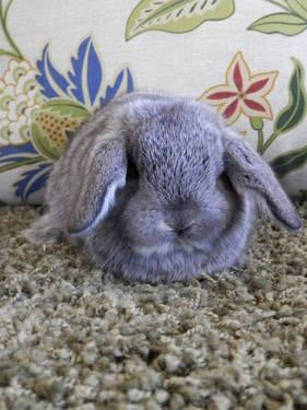 Purebred Holland Lop rabbit babies!!!