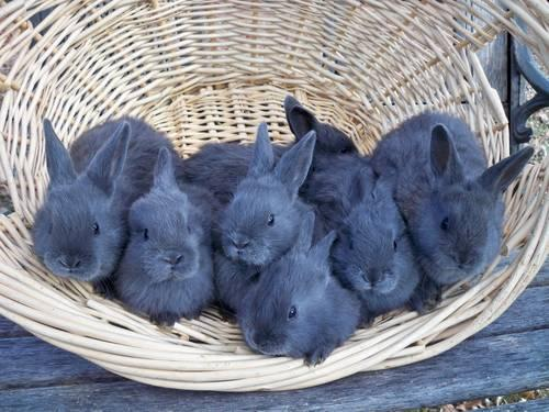 American Blue Rabbits for Sale in Isanti, Minnesota ...