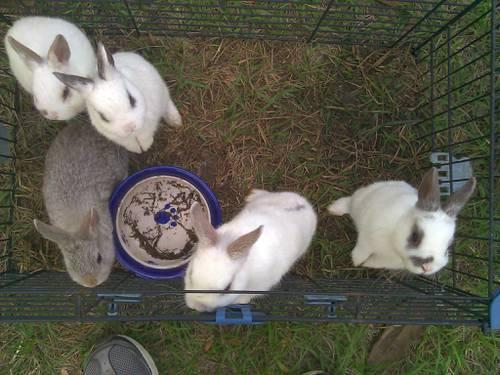Dwarfs Rabbits