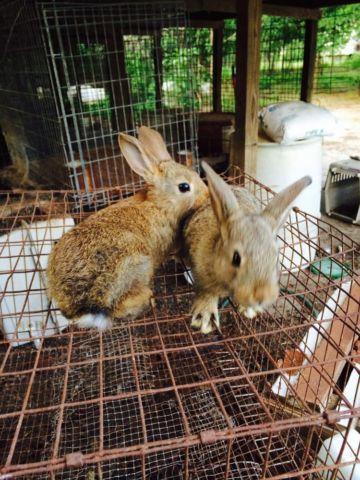 San Juan Rabbits For Sale In Maxton North Carolina Classified