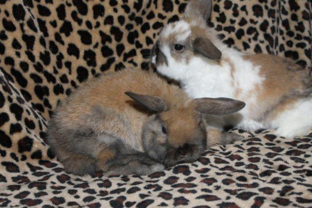 07ebed194b2 Purebred Holland Lop rabbits and bunnies for Sale in Bourbon ...