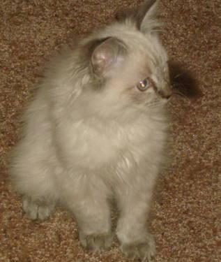 Seal Lynx Point Ragdoll Kitten for Sale in Spring City