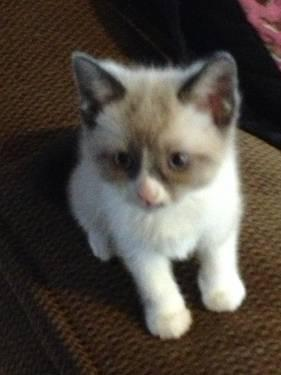 Snowshoe Siamese Ragdoll Kittens For Sale In Belleville Indiana