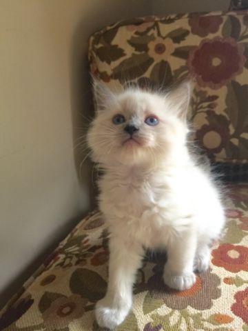 Blue Point Mitted Ragdoll Kittens