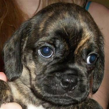 Puggle Puppies Rare Chocolate Brindles For Sale In Portland