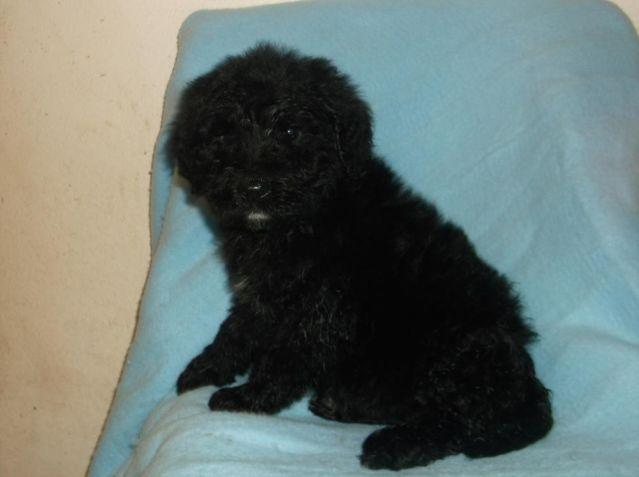 adorable goldendoodle puppies-some rare merles