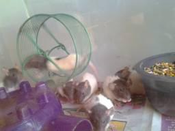 Feeder/pet medium rats