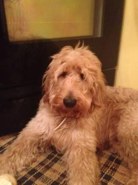 F2b Goldendoodle Puppies Ready 38 For Sale In Carthage New