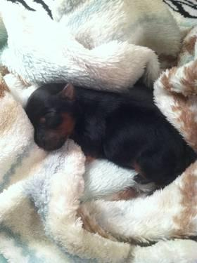 Female Yorkshire Terrier Puppy Ready December 4th