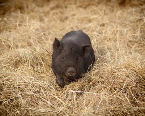 American Guinea Hog piglets weaned and ready for a new home