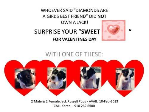 Jack Russell pups - Ready for Valentines Day