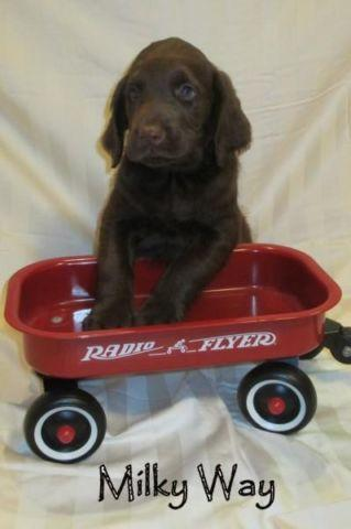 F1 Labradoodle Puppies Ready March 20 For Sale In New
