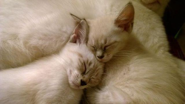 Siamese Kittens, ready now!