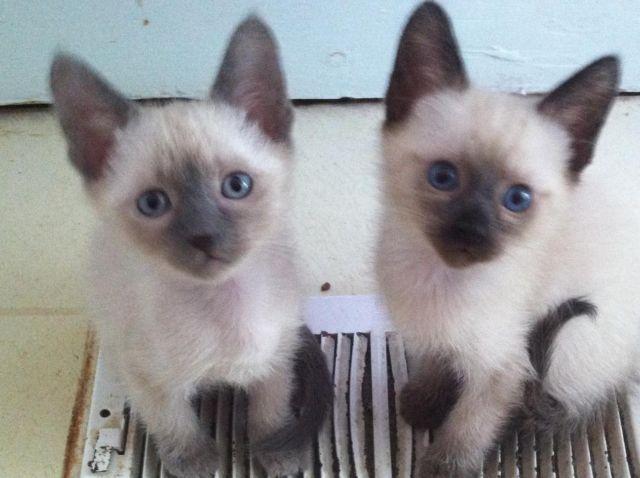 Siamese Kittens, ready now!