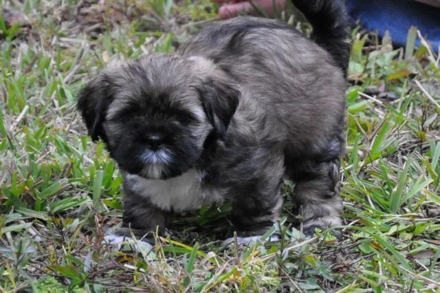 Lhasa Apso Puppy Ready to Go!
