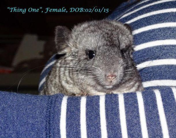Adorable Baby Girl Chinchilla Ready to Go Home