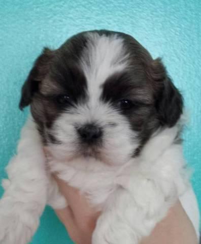 Shorkie Puppies (Yorkie x Shih Tzu) Ready to go home now!