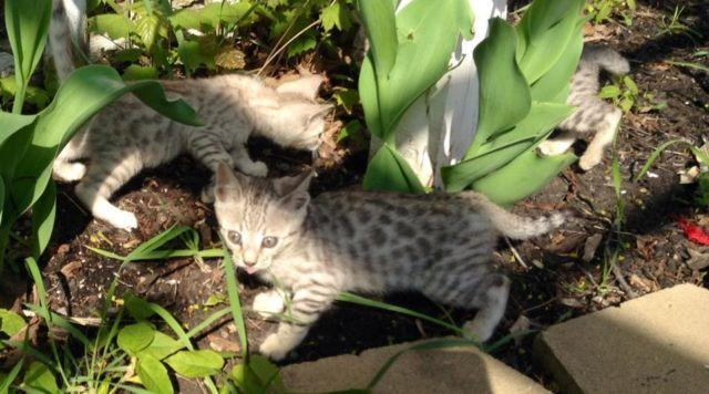 Beautiful Bengal male kittens Ready to go now!!!