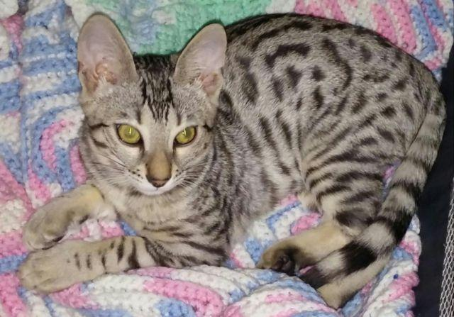 Beautiful Bengal male kitten Ready to go now