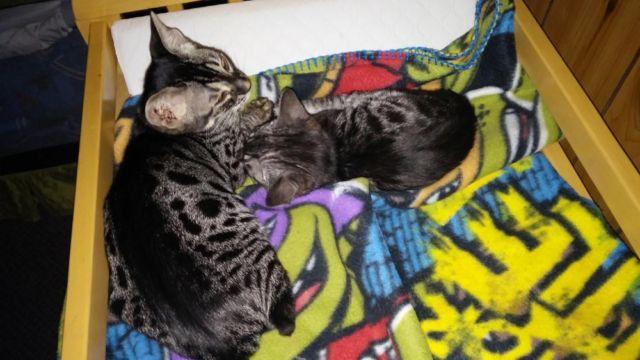 1 Stunning Charcoal bengal kitten ready to go now