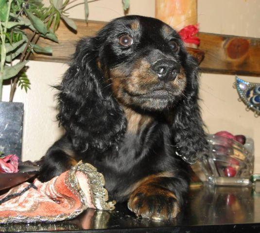 akc dachshund males top bloodlines ALL REDUCED BY HUNDREDS ON 3/29/15