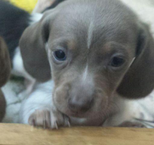 Mini akc dachshunds reduced price