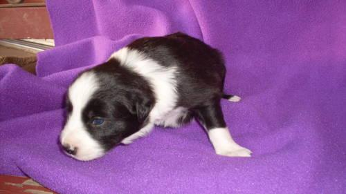 Border Collie (Reg. ABCA)