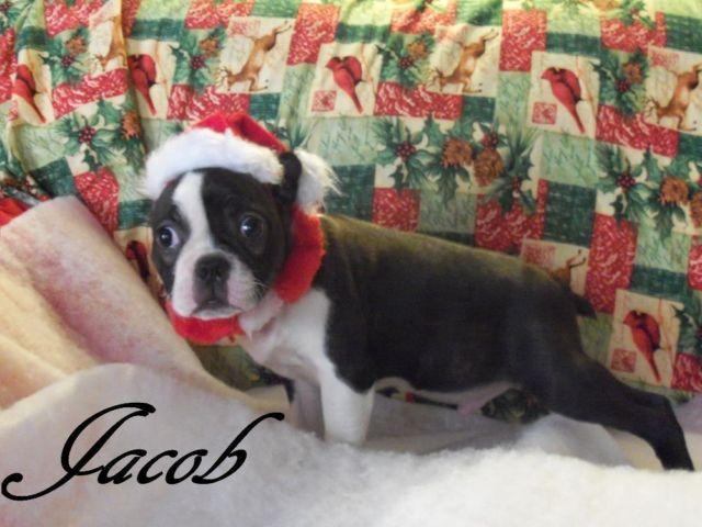 CHRISTMAS SPECIAL! CKC Registered Boston Terriers! for Sale
