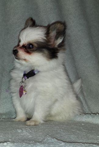 Papillon Puppies AKC Registered  Males $800 for Sale in