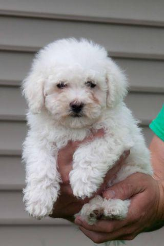 Male ACA registered puppy