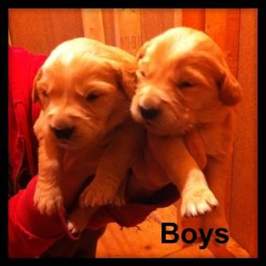 CKC Golden Retriever Puppies
