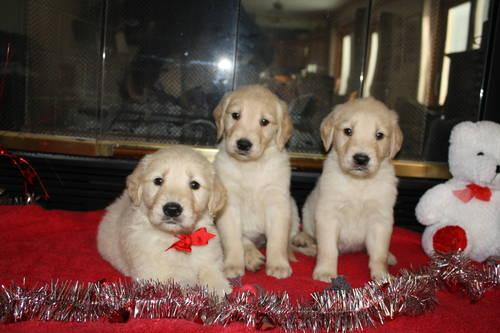 AKC Golden Retriever Puppies for Sale in Huntley, Illinois