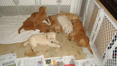 AKC Champion Golden Retriever Puppies