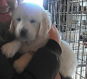 English Cream Golden Retriever Puppies For Sale In Huntley Illinois