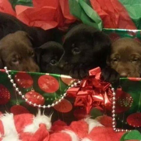 AKC Champion Labrador Retriever puppies