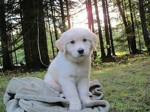 AKC REG  Golden Retriever Puppies for Sale in Dallas, Texas