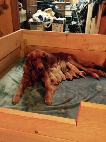 Akc reg golden retriever puppies