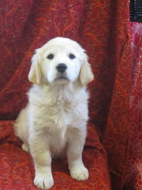 AKC Golden Retriever Puppy!!