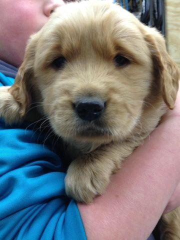 Akc Male Golden Retriever Puppy For Sale In Milton Indiana
