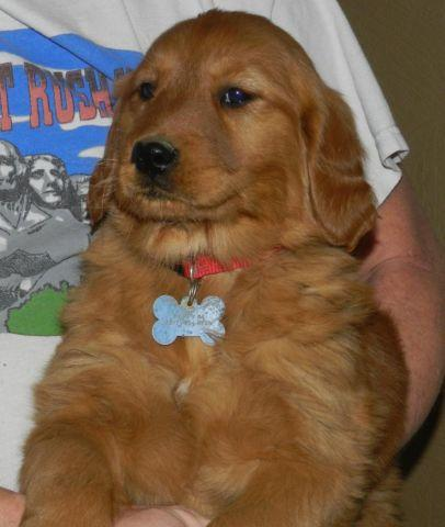 AKC Golden Retriever pups