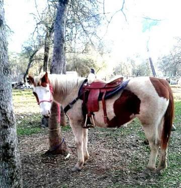 APHA Mare***Broke to Ride****May Trade***