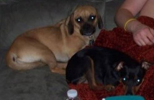 Miniature Pinscher - Tyson And Rocky-courtesy - Small - Adult