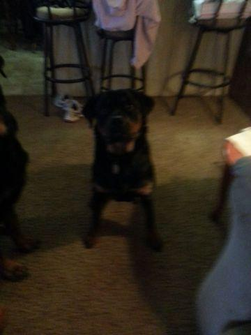 6 month old rottweiler female