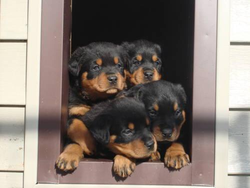 Akc Registered Rottweiler Puppies For Sale In Spotsylvania Virginia