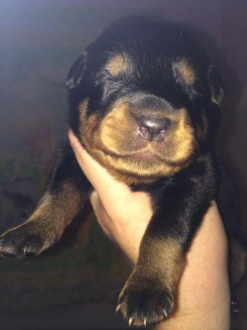 Akc Ukc Registered Rottweiler Puppies For Sale In Killingly