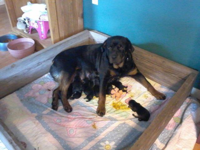 AKC German Rottweiler Puppies for Sale in Ellis Grove