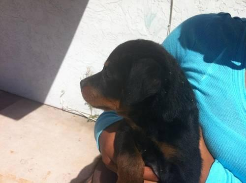 Want to buy Rottweiler Puppy