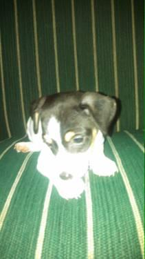 Special JACK RUSSELL PUPPIES