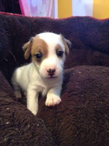 Adorable Male Jack Russell Puppy